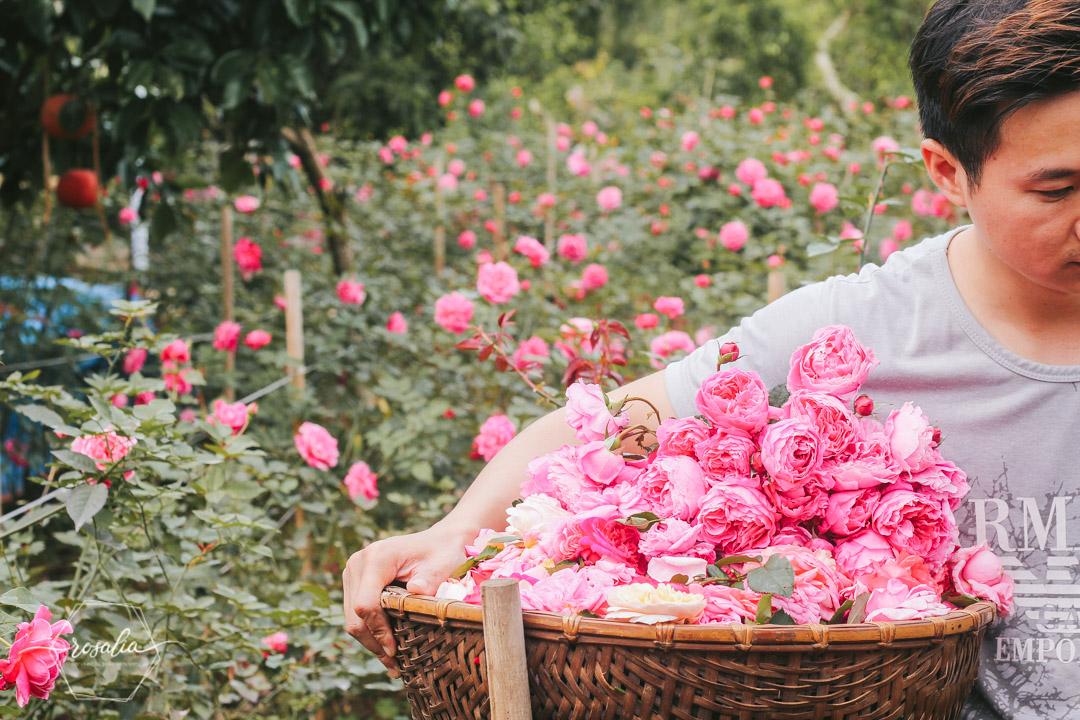 Mỹ phẩm hoa hồng Rosalia